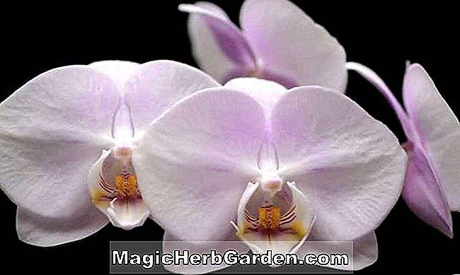 Wachsende Calanthe Orchidee