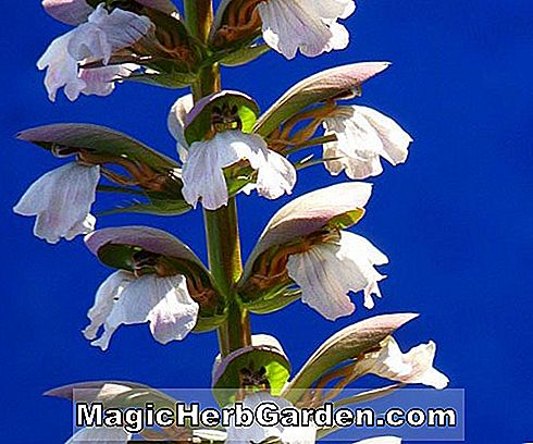 Pflanzeninformation - Acanthus, Bear's breech