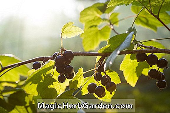 Currants, Black & Red Currants - Ribes