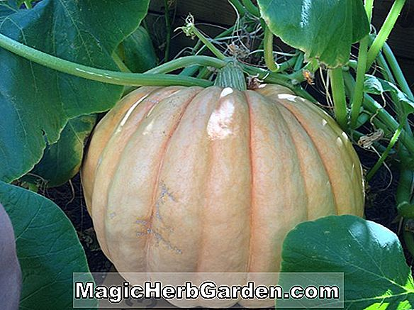 Giant Pumpkins Growing Book eller Big Pumpkins
