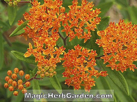 Asclepias - Butterfly Weed, Pleurisy Root, Milkweed, Stauder Guide til Plantning Blomster