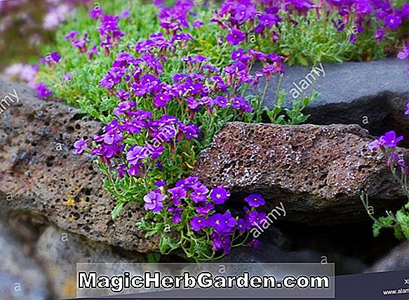 Aubrietia - Purple Rock Cress, False Wall Cress, Stauder Guide til Plantning af blomster