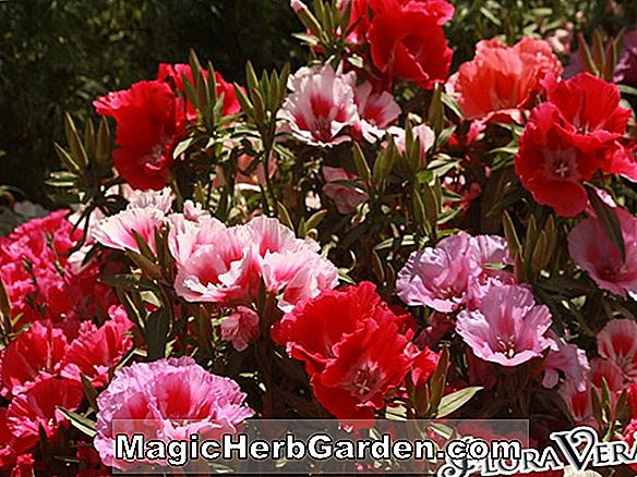 Have Temaer: CLARKIA, Annual Flower Information