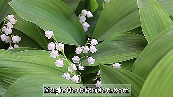 Convallaria - Lily of the Valley, May Bells, flerårige guide til plantning af blomster