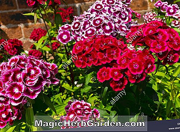 Dianthus - Hardy Pinks, Sweet William, Stauder Guide til plantning af blomster