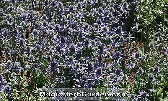 Have Temaer: PERENNIALS FOR DRY, SANDY SOILS