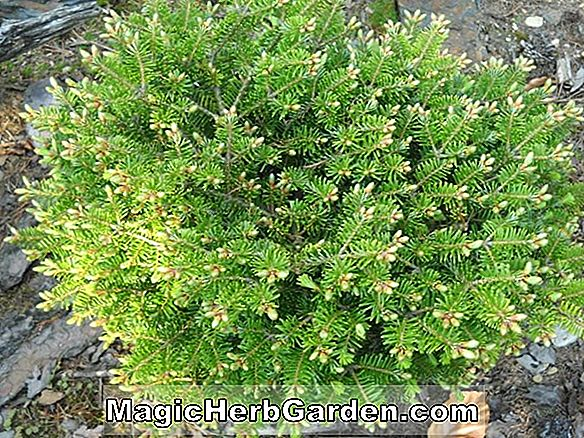 Abies alba (Green Spiral Silver Fir)