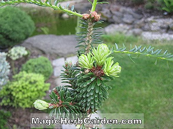 Abies alba (Microphylla Silver Fir)