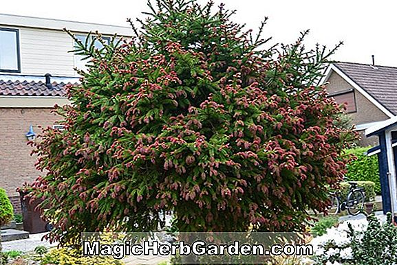 Planter: Abies concolor (Aurea White Fir)