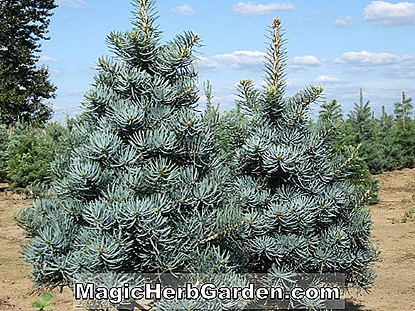 Abies concolor (Nana Glauca White Fir)