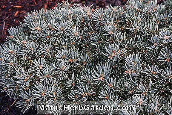 Abies concolor (Masonic Broom White Fir)
