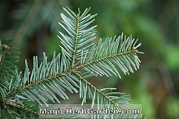 Abies concolor (Sherwood Blue White Fir)