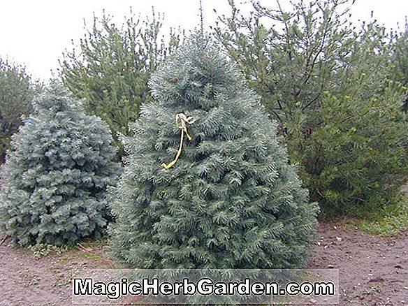 Abies concolor (Winter Gold White Fir)