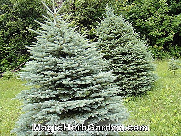 Abies concolor (Green Globe White Fir)