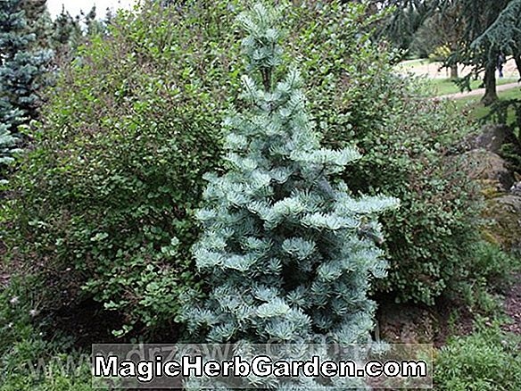 Abies concolor (Archer's Dwarf White Fir)