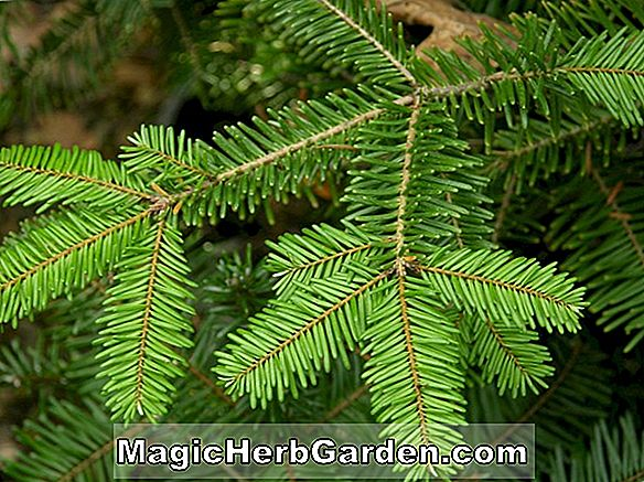 Abies grandis (Giant Fir)