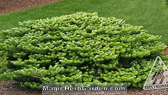 Planter: Abies koreana (Compact Dwarf Korean Fir)