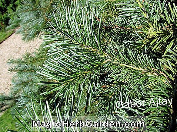 Abies lasiocarpa (Arizona Fir)