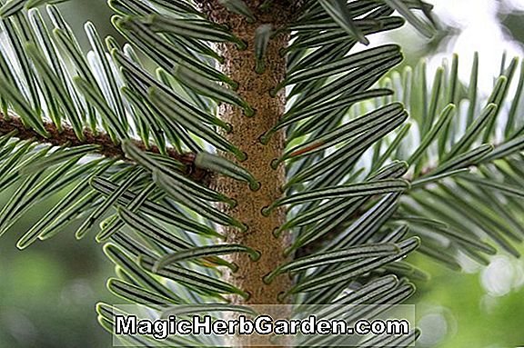 Abies pectinata (Silver Fir)