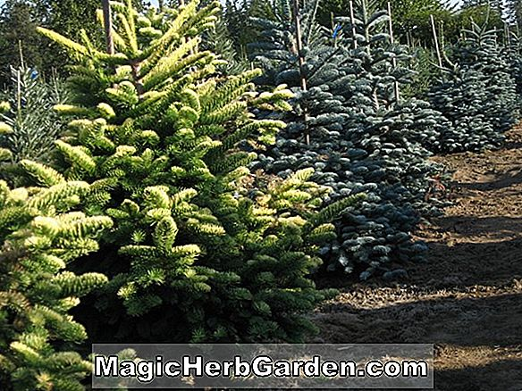 Abies procera (Aurea Nobel Fir)