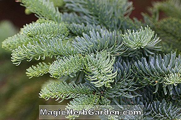 Abies procera (Johnson Nobeltanne)