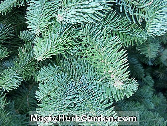 Abies procera (La Graciosa Noble Fir)