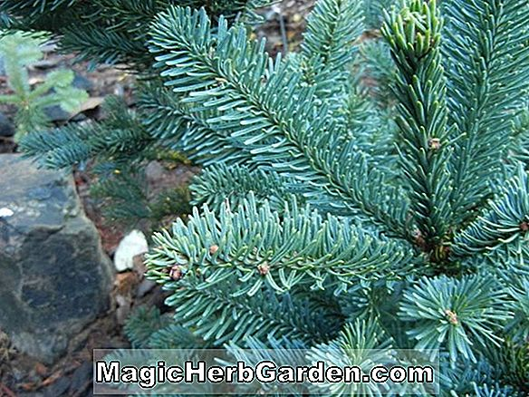 Abies procera (Noble's Dwarf Nobel Fir)