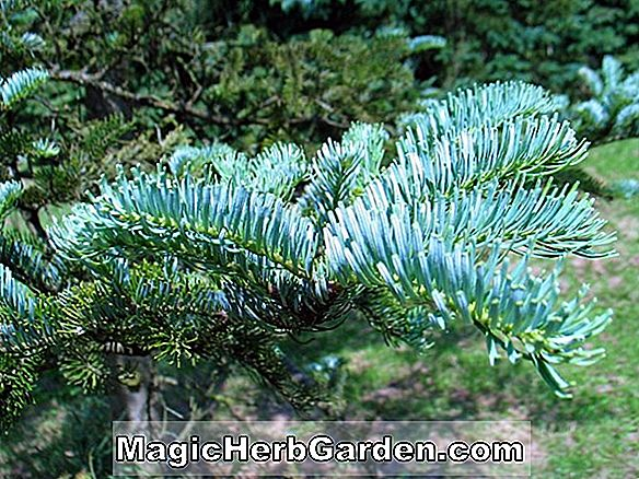 Abies veitchii (Veitch Fir)
