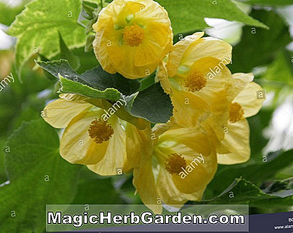 Abutilon (Ashford Red Indian Mallow)