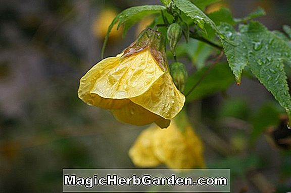 Abutilon (Kentish Belle Indian Mallow)