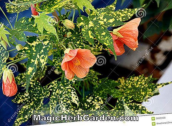 Planter: Abutilon pictum (Thompsonii Abutilon)