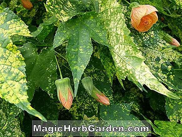 Abutilon pictum (Abutilon)
