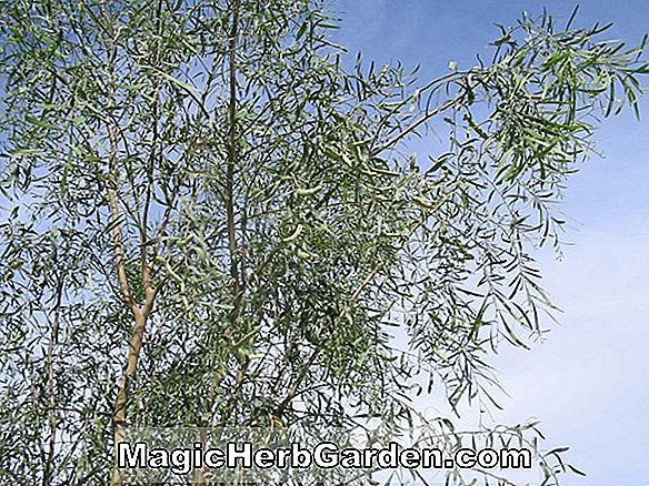 Planter: Acacia salicina (Willow Acacia)