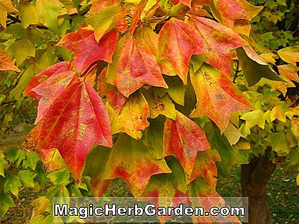 Planter: Acer buergerianum (Trident Maple)