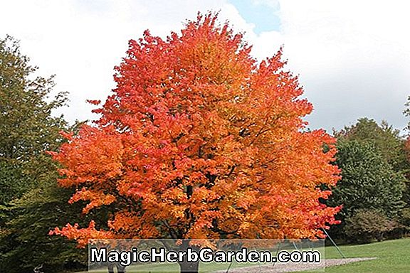 Acer campestre (Schwerinii Hedge Maple)