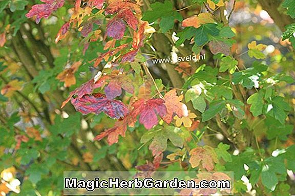 Acer campestre (William Caldwell Hedge Maple)