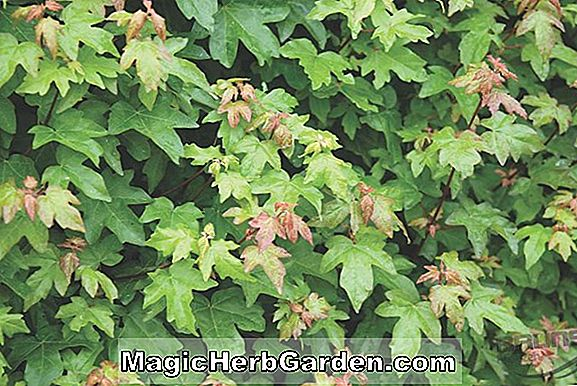 Acer campestre (Hedge Maple)