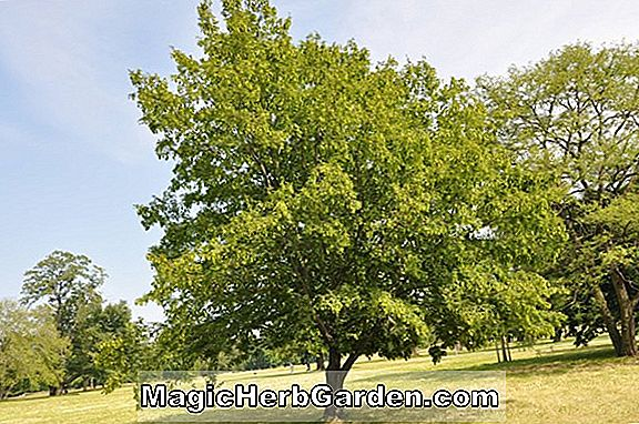Acer campestre (Red Shine Hedge Maple)