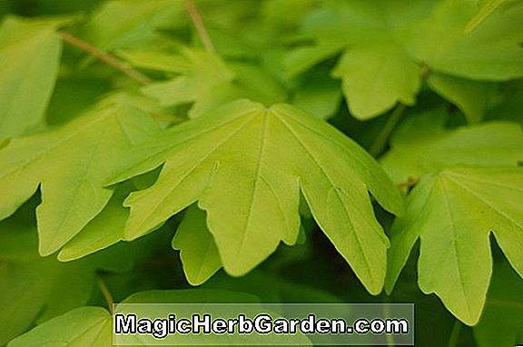 Acer campestre (Postelense Hedge Maple)
