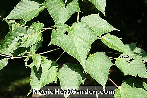 Acer capillipes (Snakebark Maple)