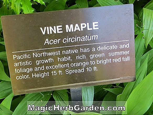 Acer Circinatum (Elegant Vine Maple)