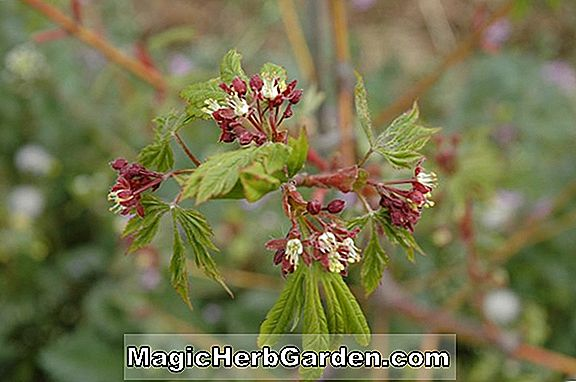 Acer Circinatum (Monroe Vine Maple)