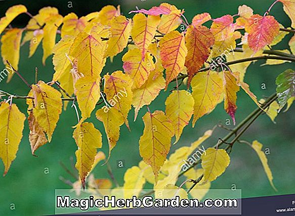 Acer crataegifolium (Hawthorn Maple)