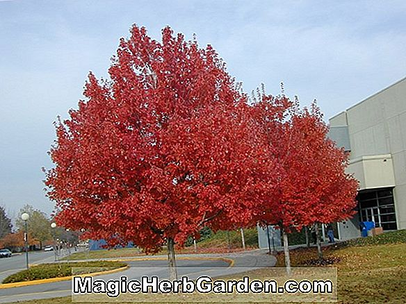 Acer rubrum (Columnare Red Maple)