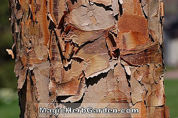 Acer griseum (Paper Bark Maple)