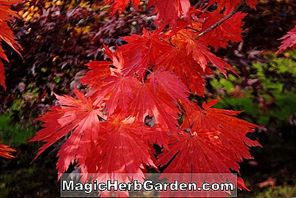 Acer japonicum (Fairy Light Maple)