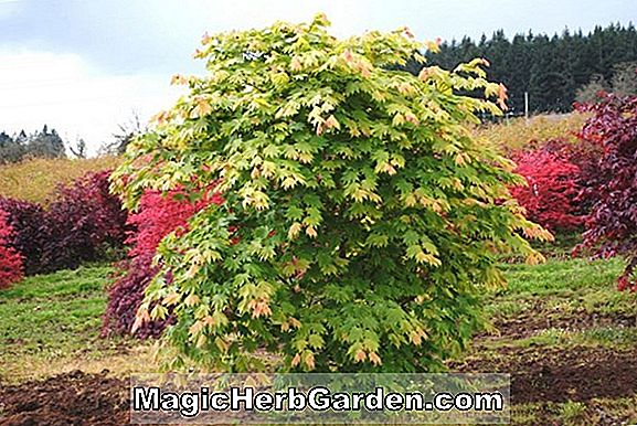 Acer japonicum (Filiforme Maple)