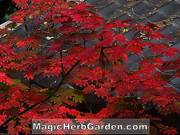 Acer japonicum (Green Cascade Maple)