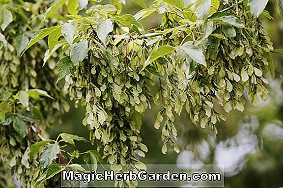 Acer negundo (Auratum Ash-Leaved Maple)