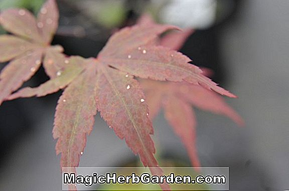 Acer palmatum (Moonfire japansk Maple)